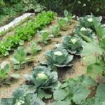 veggie-garden1